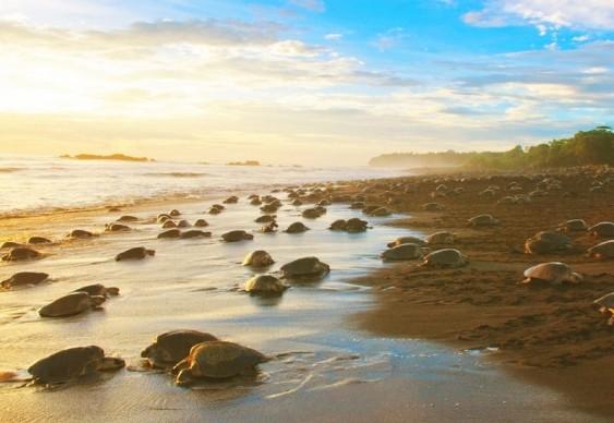 Desova de tartarugas marinhas em praia da Costa Rica