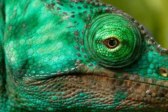 Olho de lagarto verde