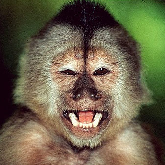 Macaco mijador