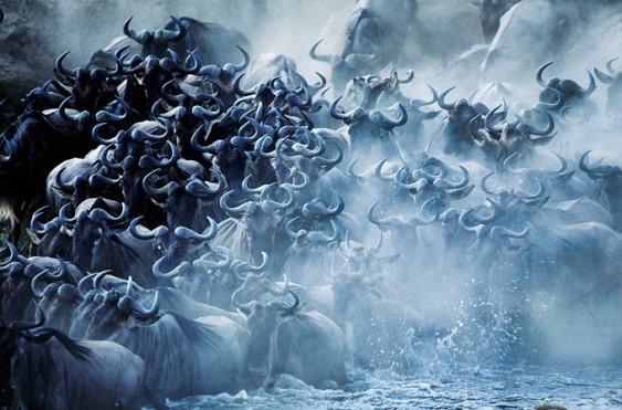 Gnus em manada