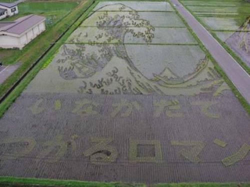 Campos de arroz - tsunami no Japão