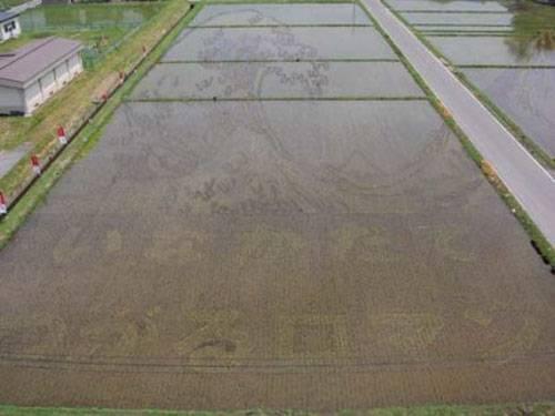 Plantação de arroz no Japão - tsunami