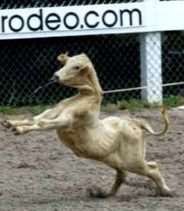 Rodeio - maus tratos a animais
