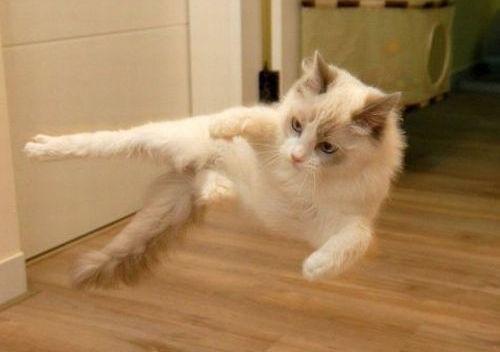 Gato levitando
