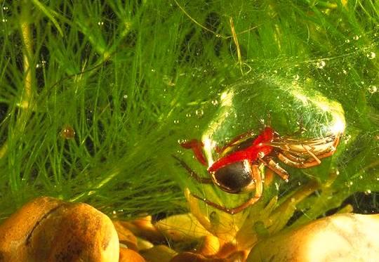 Espécie de aranha sub-aquática
