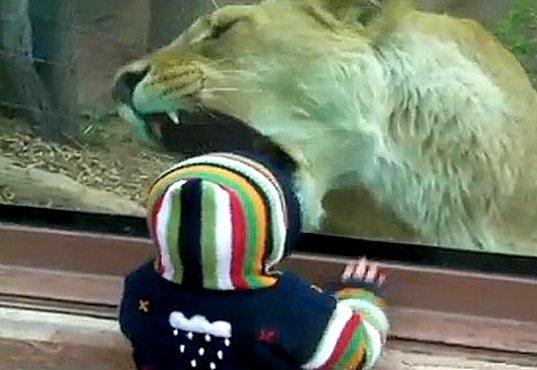 Leoa tenta comer bebê no zoológico