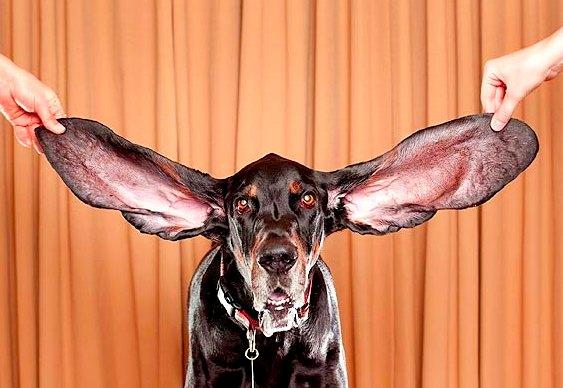 Cão com maiores orelhas do mundo