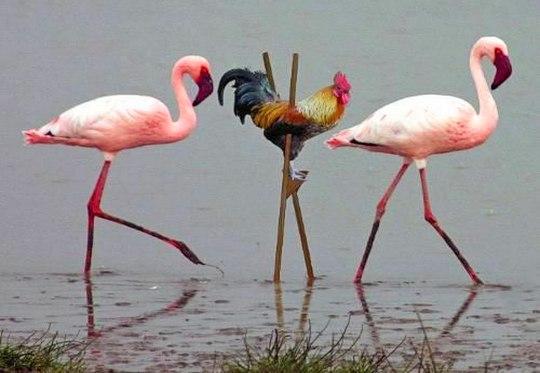 Galo com Flamingos