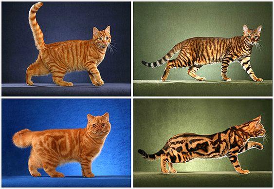 Gatos e felinos com listras