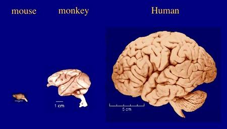 Cérebro homem macaco e rato