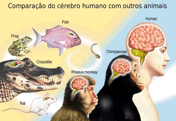 Cérebro Humano Evolução
