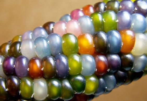 Espiga de milho colorida