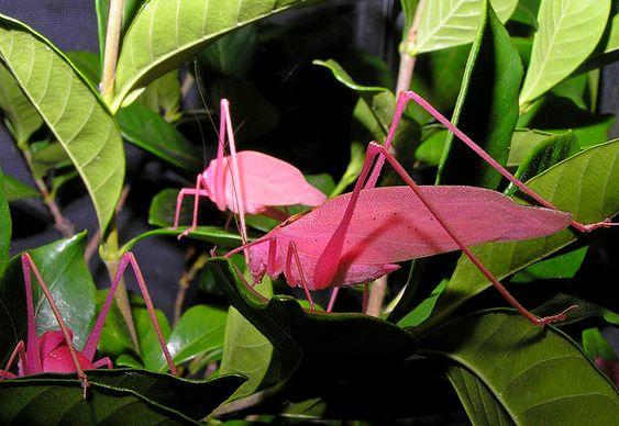 Inseto Tettigoniidae