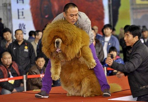 Falso leão chinês