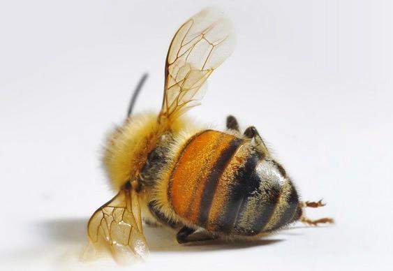 Morte das abelhas