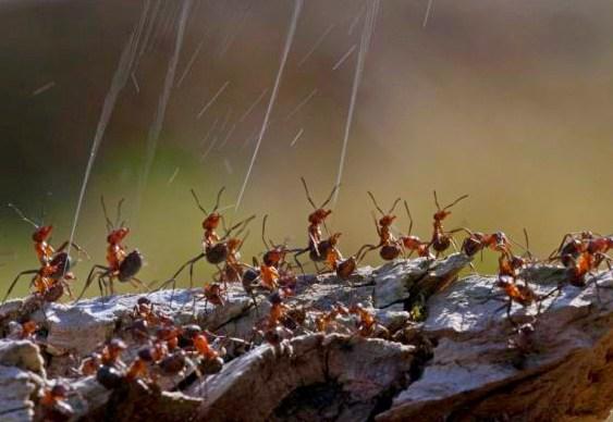 Ataque com chuva de ácido fórmico