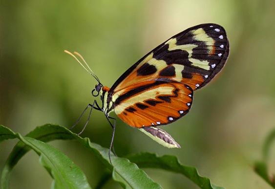 Borboleta amazônica