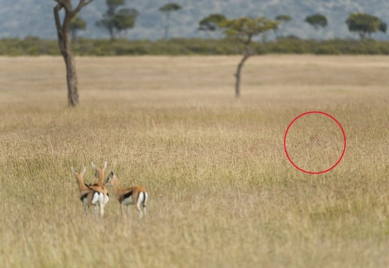 Chita na caçada