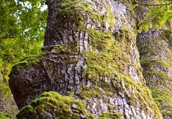 Casca de árvore com líquens
