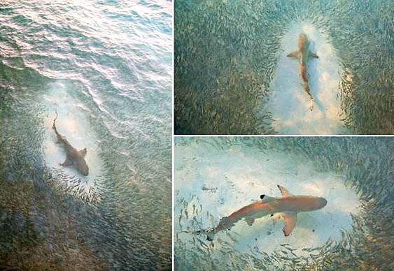 Tubarão versus cardume
