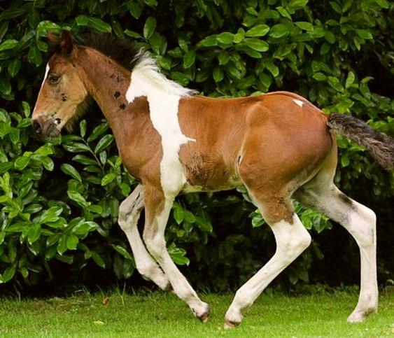 Cavalo malhado DaVinci